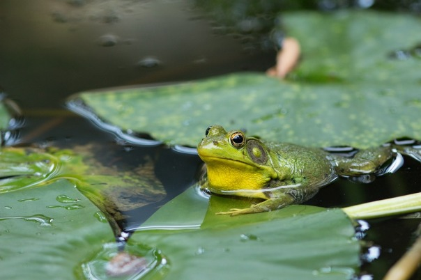 frog-3654470_960_720